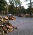 Topola włoska. Wycinanie drzewa.