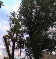 Topole kanadyjskie. Wycinanie drzew.